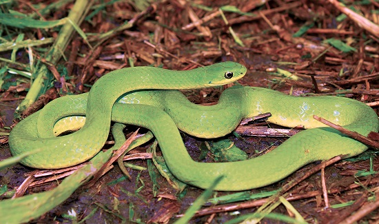 smoothgreensnake2-n-illinois