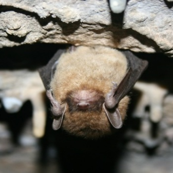 little-brown-bat