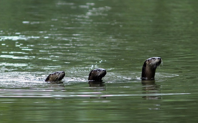 River Otters - Photo by David Hale